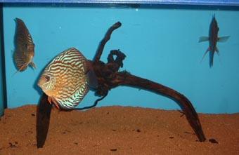 Symphysodon discus pesce disco o discus for Pesce discus