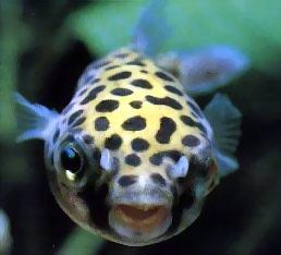 Tetraodon fluviatilis pesce palla d acqua dolce for Pesci acqua dolce commestibili